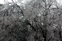 Ice_Tree_1.png